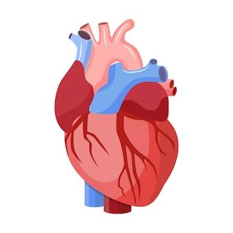 Anatomiczne serce na białym tle.