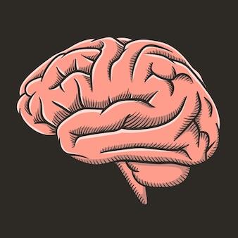 Anatomiczny ludzki mózg