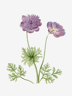 Anemones vintage illustration