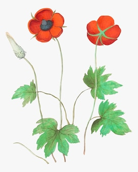 Anemonowy kwiat w rocznika stylu