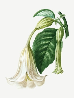 Anioła trąbka roślin