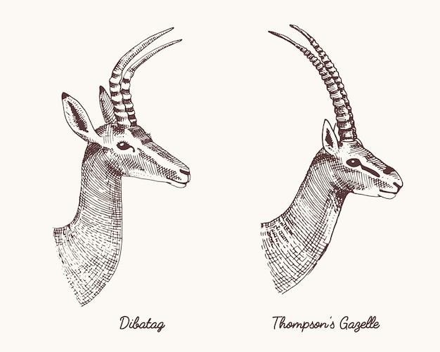Antylopy dibatag i thompsons gazela ręcznie rysowane ilustracji, wygrawerowane dzikie zwierzęta z poroża lub rogi vintage patrząc widok z boku głowy