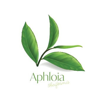 Aphloia theiformis madagasy tea naturalny kosmetyk do pielęgnacji skóry