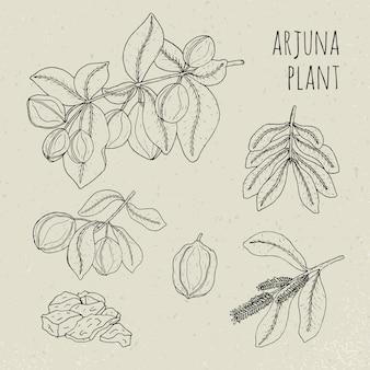 Arjuna, medyczne drzewo ajurwedyjskie botaniczne. zestaw roślin, owoców, kwiatów, kory, liści ręcznie rysowane. rocznik konturu odosobniona ilustracja.