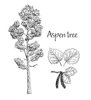 Aspen ręcznie rysowane szkic. szkic drzewa liściastego. liście osiki, osika kwitnąca.
