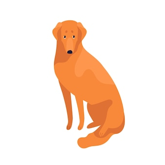 Atrakcyjny sprytny golden retriever pies rasy płaskie ilustracji wektorowych. słodkie zwierzę domowe siedzi na białym tle. wesoły, posłuszny, rasowy zwierzak.