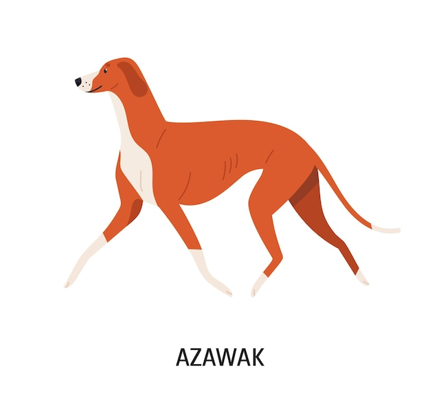 Azawakh. śliczny ładny pies myśliwski lub chart z krótkim włosem na białym tle. wspaniałe rasowe zwierzę domowe lub zwierzę domowe. ilustracja wektorowa kolorowe w stylu cartoon płaskie.