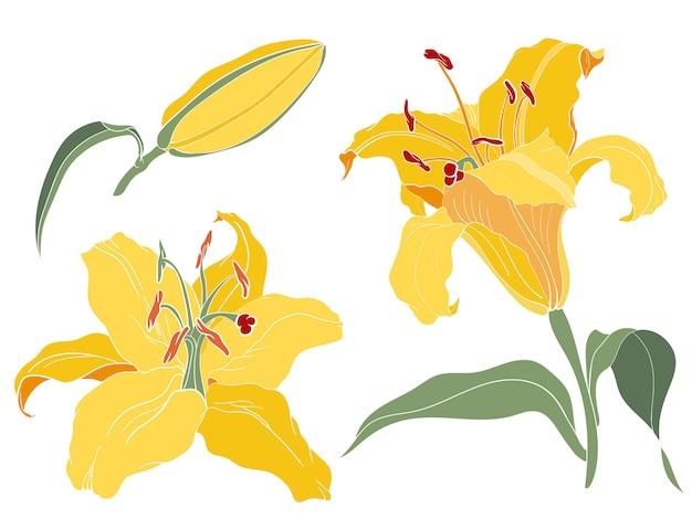 Azjatycka lilia orientalna żółty kwiatostan, kwiat, pączek