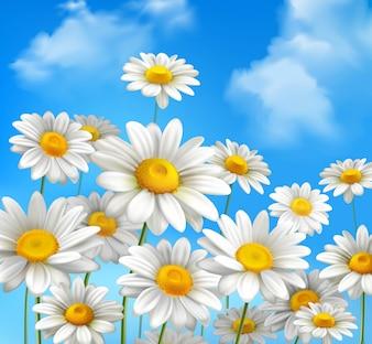 Białe stokrotki kwiatów rumianku