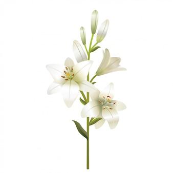 Biała lilia. pojedynczo na białym