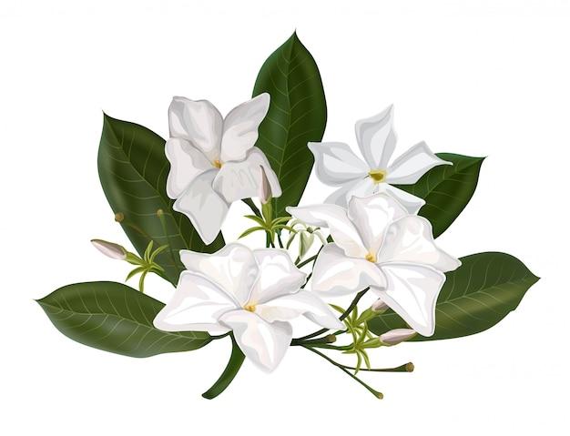 Białe kwiaty. alstonia scholaris i liście lub diabeł drzewo na białym tle