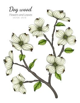 Biały dereniowy kwiat i liść rysunkowa ilustracja z kreskową sztuką na białych tło.