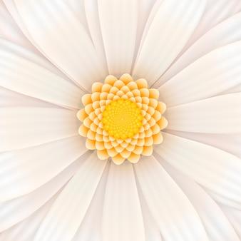 Biały kwiat gerbera w rozkwicie
