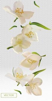 Biały kwiat jaśminu z zielonym liściem.