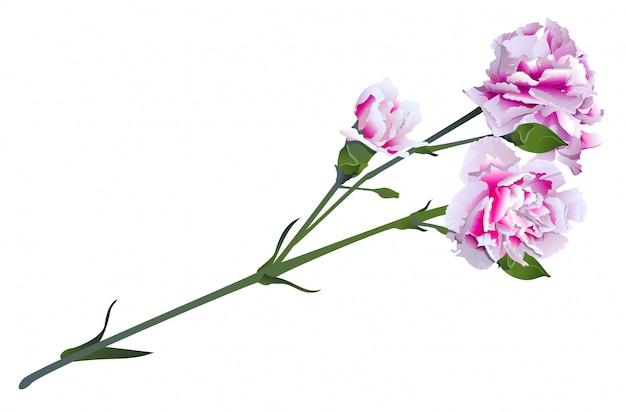 Biały różowy kwiat goździka na bukiet zielonych łodyg
