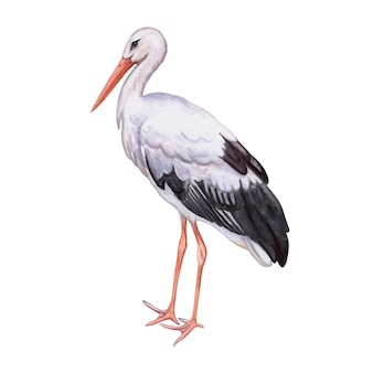 Bocian biały. realistyczny ptak odizolowywający. akwarela