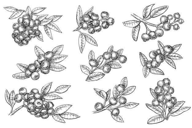 Borówka gałąź atramentu szkic monochromatyczny