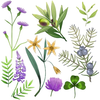 Botaniczna kolekcja roślin i kwiatów. oliwka, gagea, koniczyna, chaber, jałowiec.