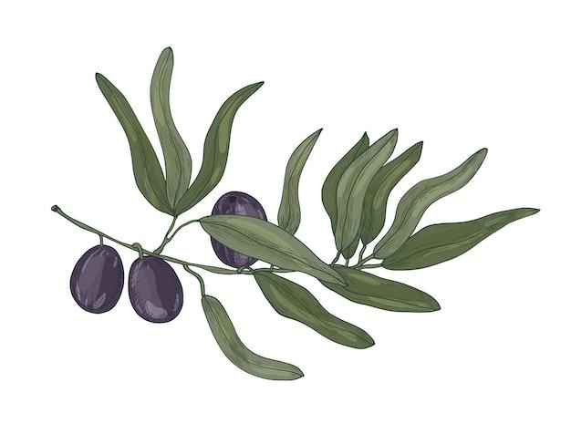 Botaniczny rysunek oliwki lub gałęzi drzewa olea europaea z liśćmi i czarnymi owocami lub pestkami na białym tle