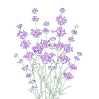Bukiet kwiatów lawendy.