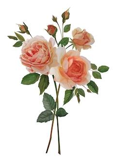 Bukiet róż kwiat, ilustracja botaniczna.