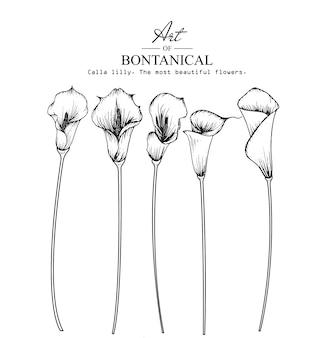 Calla lily rysunki liści i kwiatów
