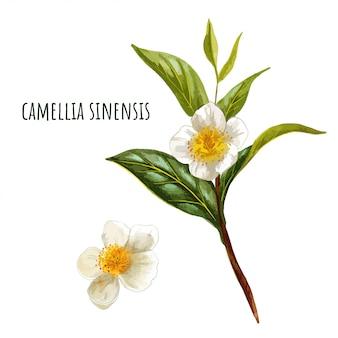 Camellia sinensis, gałąź zielonej herbaty z kwiatami