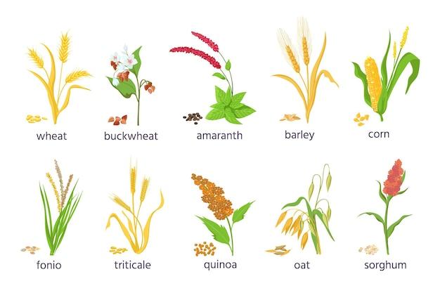 Cartoon gospodarstwa zbóż i roślin traw zbożowych. rolnictwo kukurydza, pszenica, kukurydza, kasza gryczana, nasiona amarantusa i komosy ryżowej oraz uszy wektor zestaw. ilustracja zboża i nasion, jęczmienia i pszenicy
