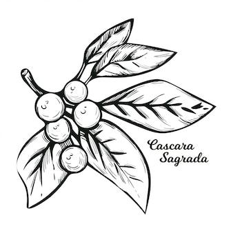 Cascara sagrada mącznica lekarska z zielonymi liśćmi odizolowywającymi. rhamnus purshiana, cascara buckthorn sagrada i chinook jargon, sztyft chittem i chitticum frangula purshiana.