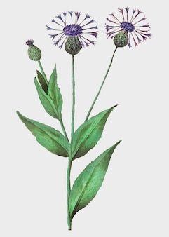 Centaury kwiat w stylu vintage