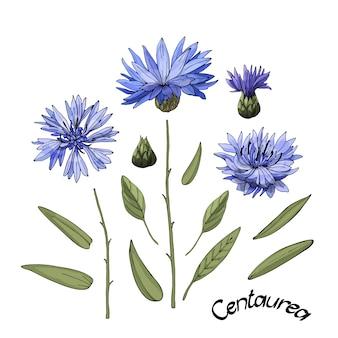 Chaber kwitnący na niebiesko (centaurea) z pąkami, zielonymi liśćmi i łodygami.