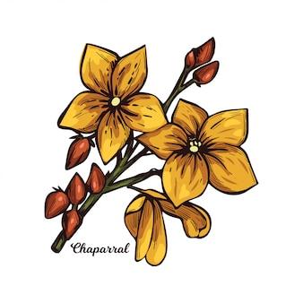 Chaparral kreozotowy krzew, gobernadora, larreastat. larrea tridentata krzew kreozotowy, roślina tłuszczowa. zioło lecznicze, żółte kwiaty, zielone liście, kwitnące kosmetyki medyczne