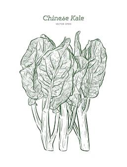 Chenese kale lub chińskie brokuły, warzywa. ręcznie rysować wektor szkic.