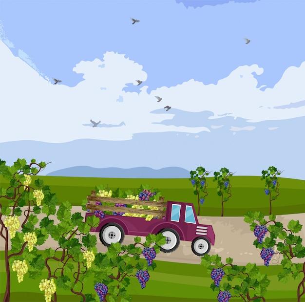 Ciężarówka z winogron zbiorów