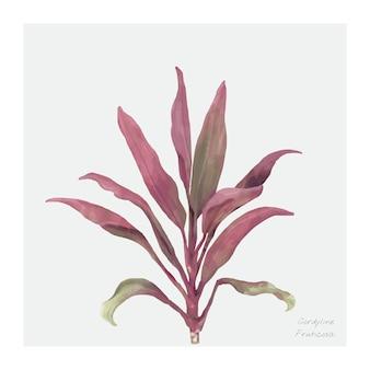 Cordyline Fruticosa roślina odizolowywająca na białym tle