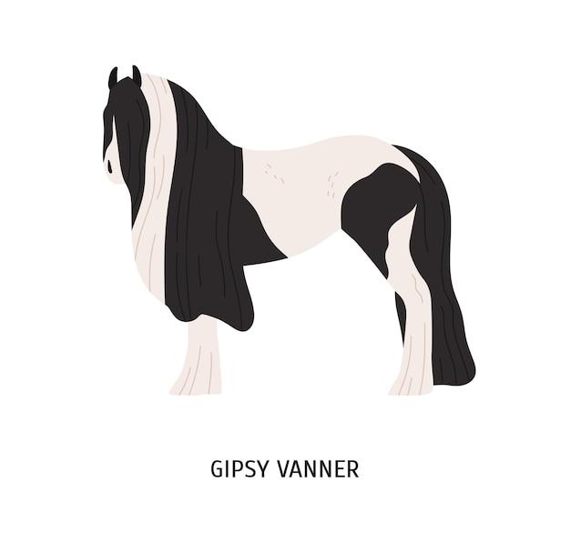 Cygańska vanner płaski wektor ilustracja. koń rodowodowy, rasa majsterkowiczów, koń pociągowy. hodowla hossów, koncepcja sportów jeździeckich. irlandzki koń pociągowy, zwierzę kopytne na białym tle.