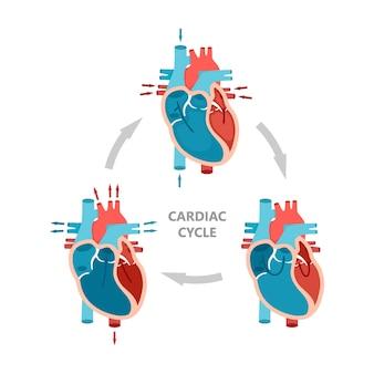 Cykl pracy serca rozkurcz skurczowy i rozkurcz przedsionków schemat anatomii serca z przepływem krwi