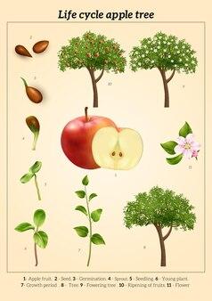 Cykl życia infografiki ilustracji jabłoni