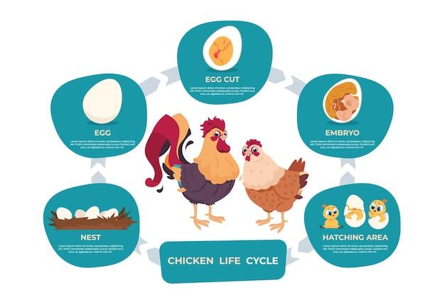Cykl życia kurczaka. infografika kreskówka kurczak i kogut z krokami życia od jaja w gnieździe do dziecka zarodka i dorosłej kury. obrazy wektorowe ustawić ptaka rozwoju wykresu w przyrodzie