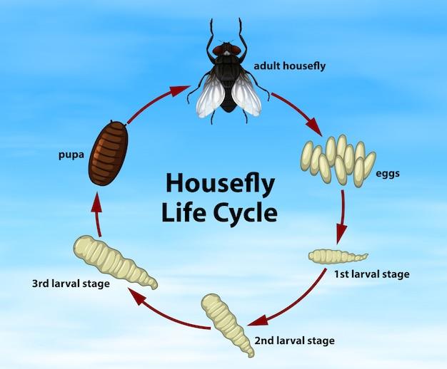 Cykl życia science housefly
