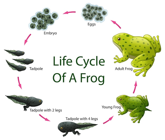 Cykl życia żaby