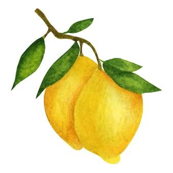 Cytryny na gałęzi z liśćmi. kompozycja akwarela na białym tle.