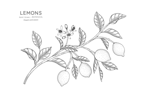Cytryny owoców ręcznie rysowane ilustracji botanicznej z grafiką.