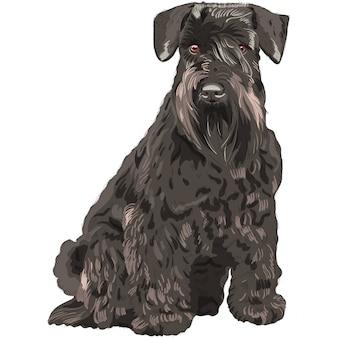 Czarny miniaturowy pies sznaucer siedzący