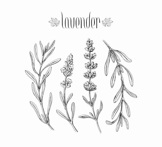 Czarny na białym tle lawendy gałęzie, ręcznie rysowane liście i kwiaty roślin.