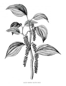 Czarny pieprz gałąź ręcznie rysować rocznika na białym tle