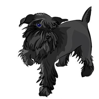 Czarny pies rasy sznaucer miniaturowy