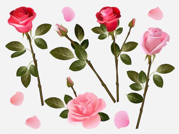 Czerwona róża. roślina miłość kwitnie piękne czerwone pąki z zielonymi liśćmi wektorową ziołową ilustracyjną kolekcję