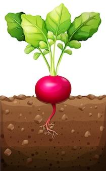 Czerwona rzodkiewka z korzeniami pod ziemią