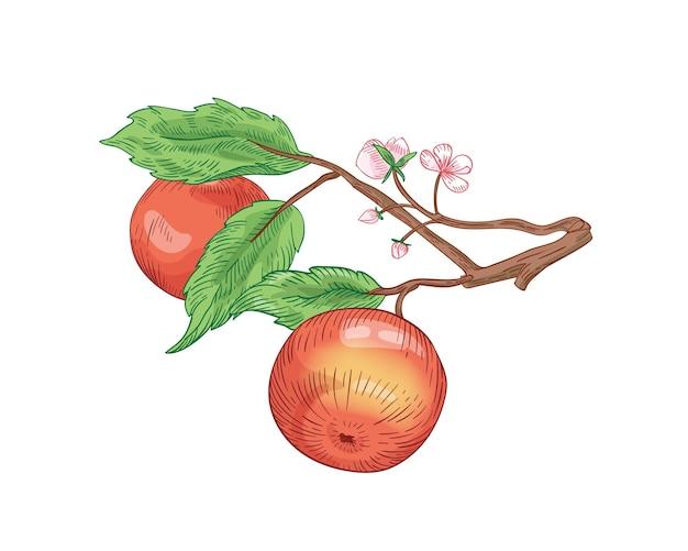 Czerwone jabłka na gałęzi ręcznie rysowane ilustracji wektorowych. letnie owoce z liśćmi i kwitnącymi kwiatami na białym tle